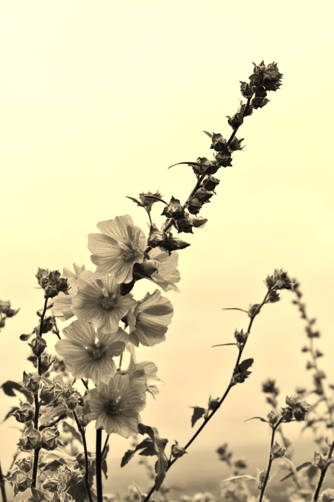 For Me ... (Lavatera in Sepia ....) by motherjane