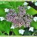 Lacecap Hydrangea by ladymagpie