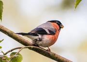 15th Jul 2014 - Bullfinch - 15-07