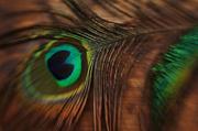 15th Jul 2014 - Lensbaby Peacock