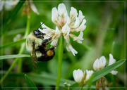 15th Jul 2014 - Bee of the Bumble Kind