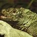 Sailfin Lizard by onewing