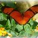 butterfly in orange by quietpurplehaze