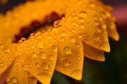16th Jul 2014 - Golden Droplets