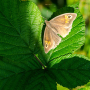 16th Jul 2014 - Butterfly in light on green - 16-07
