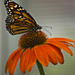 Monarch and Cone Flower
