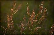 16th Jul 2014 - Gilded Grasses