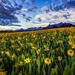 Sunflower Fields in the Rocky Mountains