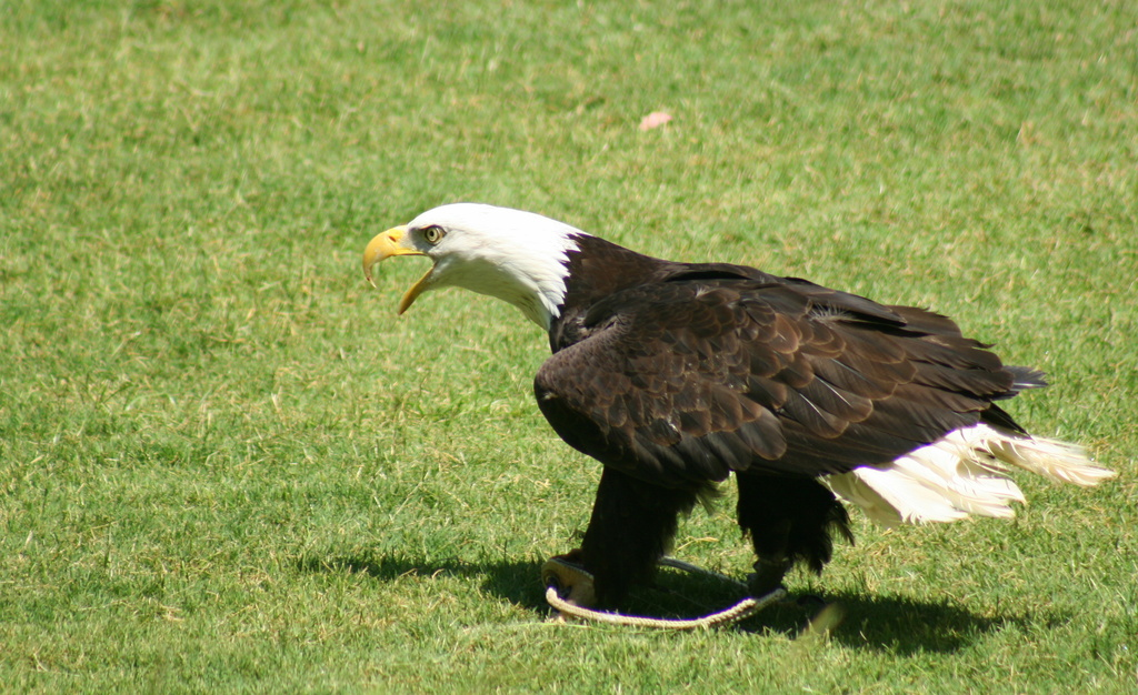 Eagle by kerristephens