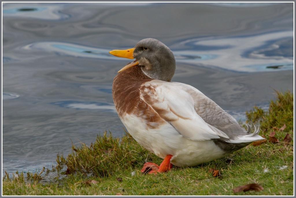 Talking duck by gosia