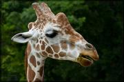 19th Jul 2014 - One Special Giraffe