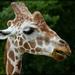 One Special Giraffe by lyndemc