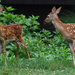Little fawns by mittens
