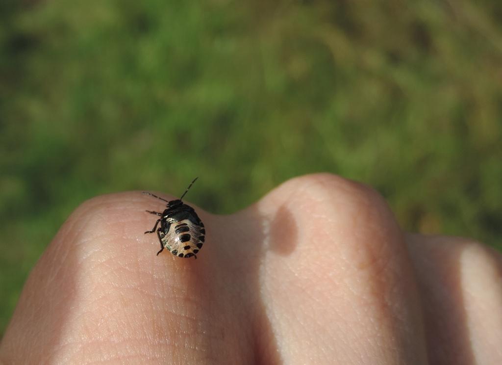 Baby shieldbug by roachling