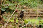 20th Jul 2014 - Great Horned Owl