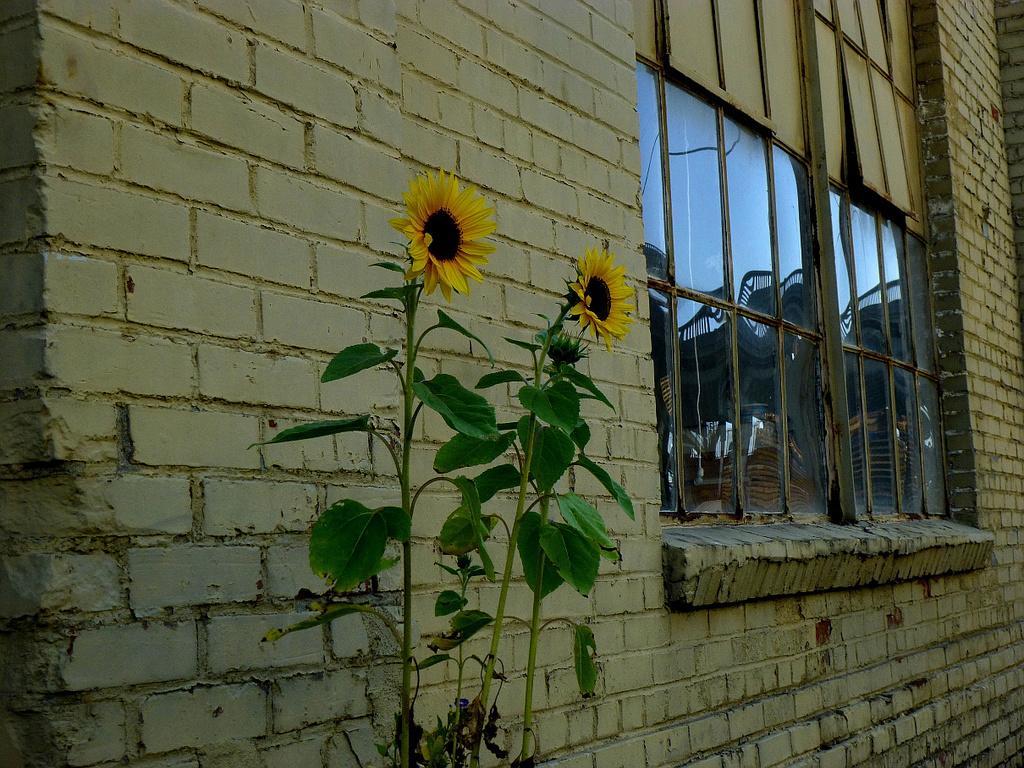 Bakery Sunflowers by stephomy
