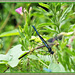 Black-Winged Damselfly(male)