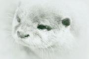 22nd Jul 2014 - Otter Portrait