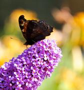 22nd Jul 2014 - Butterfly on the Butterfly Bush