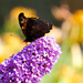 Butterfly on the Butterfly Bush by padlock
