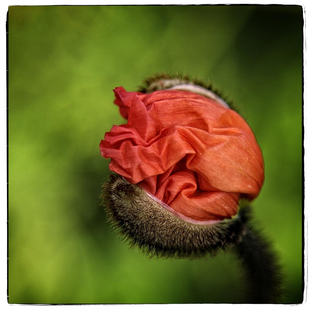 Poppy by rustymonkey