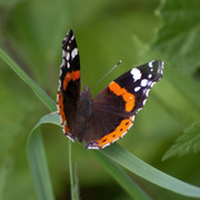 23rd Jul 2014 - Red admiral - 23-07