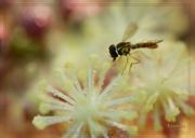 23rd Jul 2014 - PhotoBomb Bee
