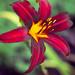 Mary's Lily by cdonohoue
