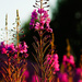 Fireweed  by elisasaeter
