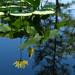 Water Lilies by rosiekerr
