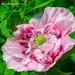 Wild Poppy by tonygig