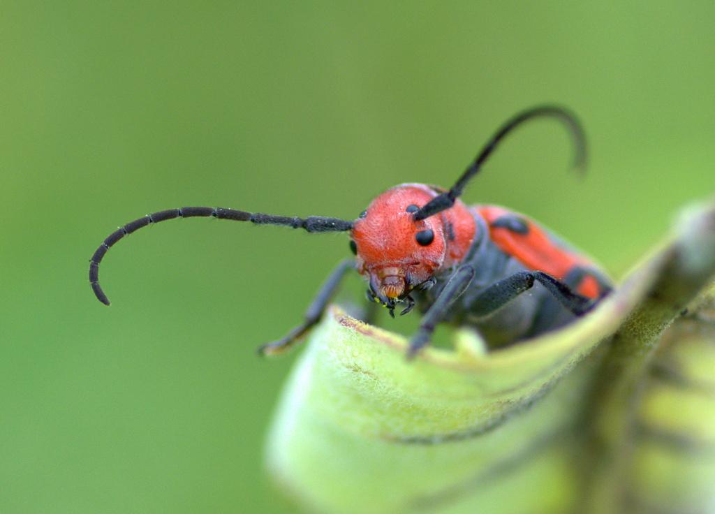 red milkweed beetle by vankrey