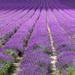 Lavender 2014 by peadar