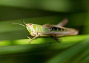 26th Jul 2014 - Grasshopper - 26-07