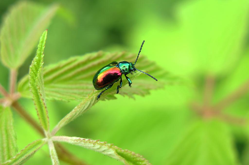 Shiny rainbow beetle! by fayefaye