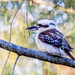 Kookaburra sits in the old gum tree.... by corymbia