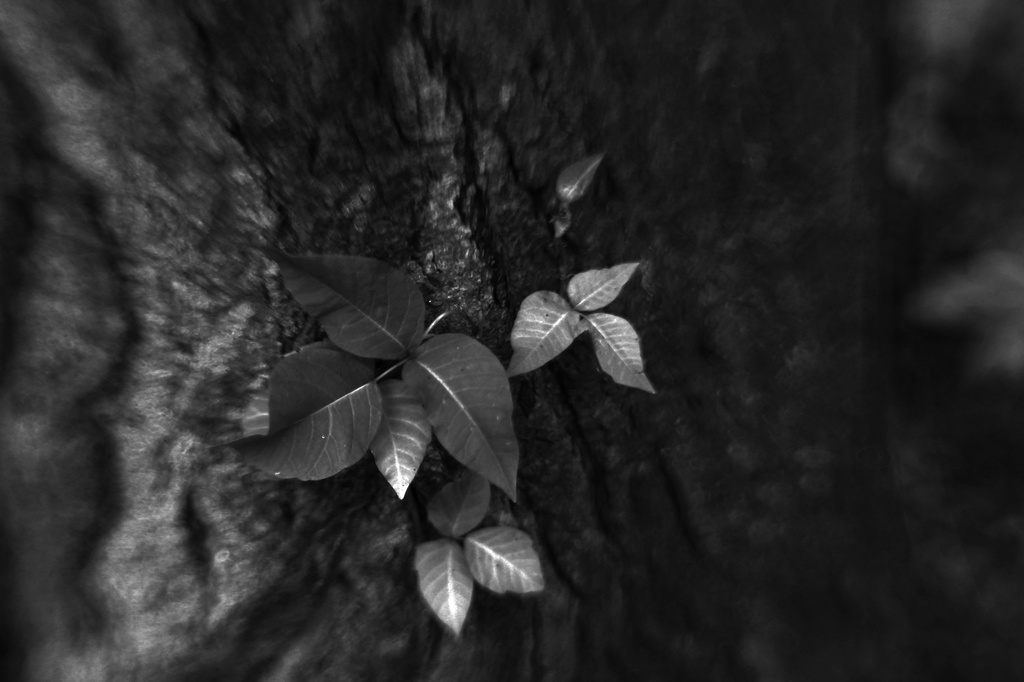 Leaves of three,leave them be . by mzzhope