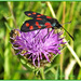 Six Spot Burnet Moth by carolmw