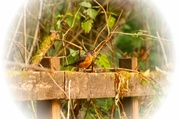 22nd Jul 2014 - Robin on the fence