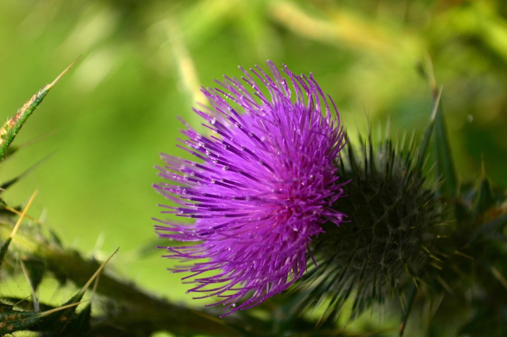 Thistle by ziggy77