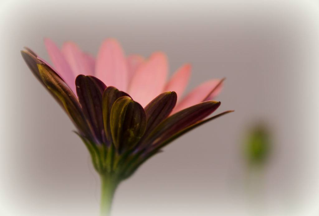 A Daisy by salza