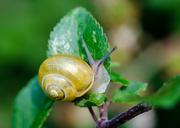 28th Jul 2014 - White-lipped snail - 28-07