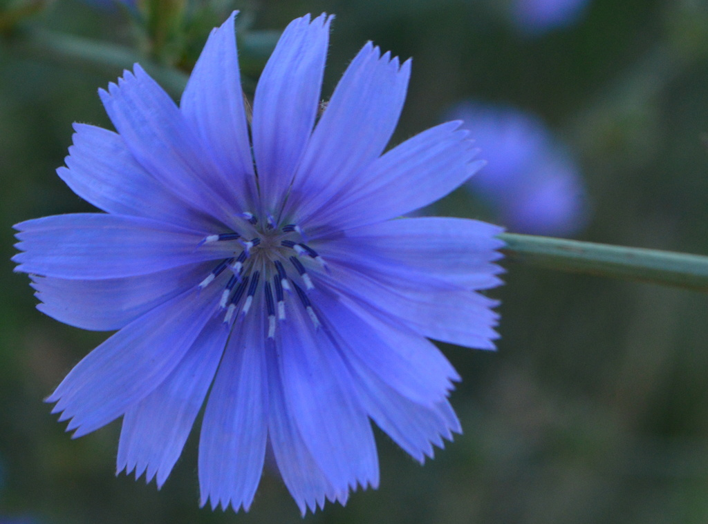 Chicory Blue! by kareenking