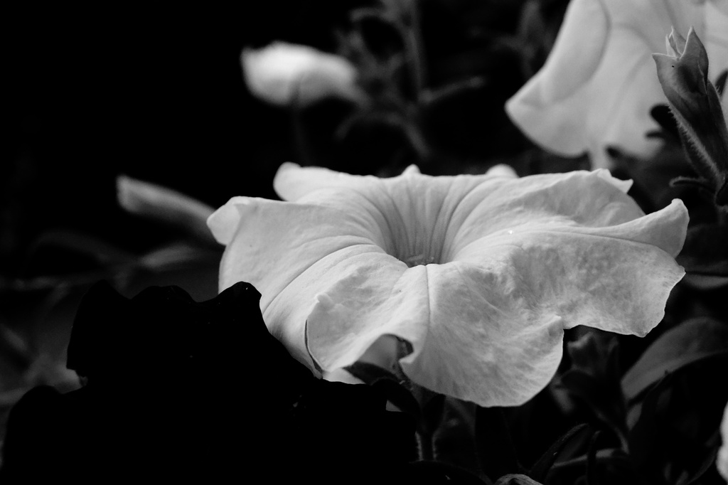 petunia in the evening by francoise