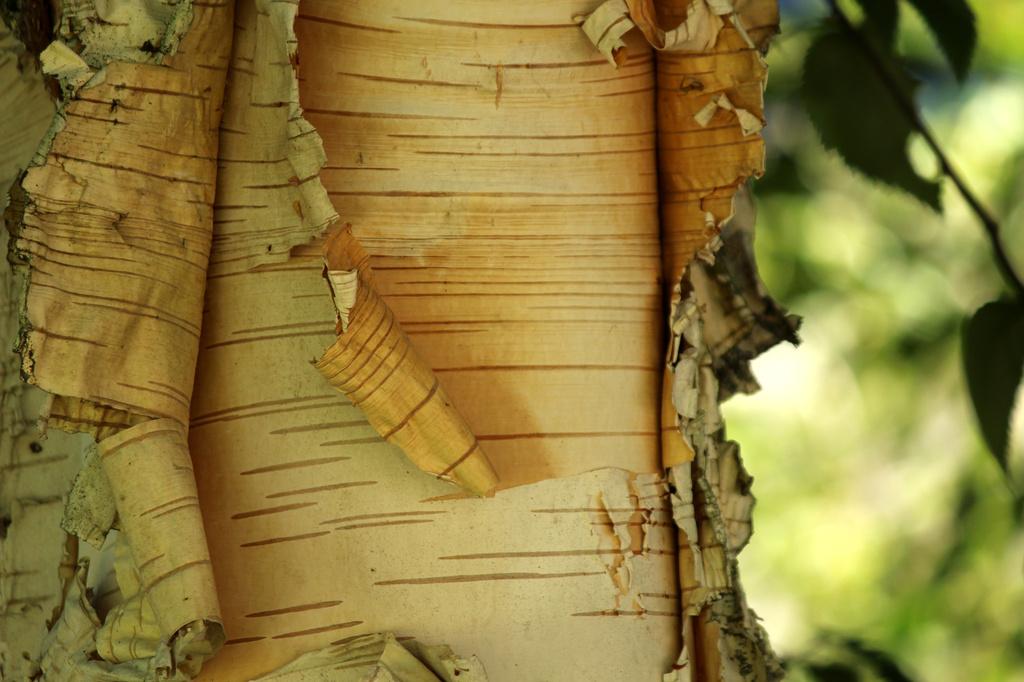 Birch by nanderson