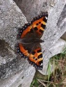 21st Jul 2014 - Another Butterfly!