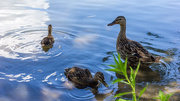 27th Jul 2014 - Quackers
