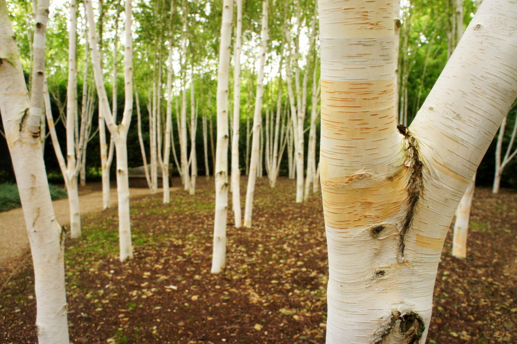 Himalayan birch by boxplayer