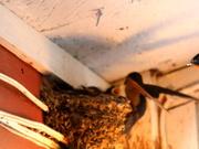 30th Jul 2014 - Barn swallow