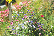30th Jul 2014 - Glorious wildflowers